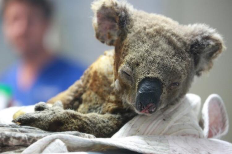 video-australianos-tentam-salvar-coalas-dos-fogos