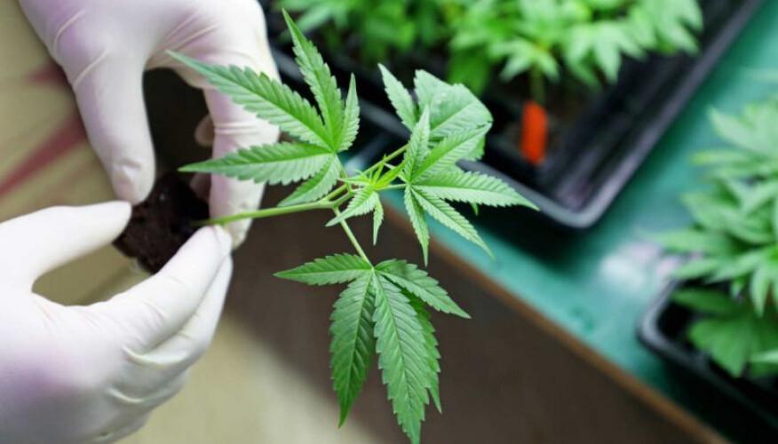 carta-aberta-defende-legalizacao-da-cannabis-para-fins-medicinais