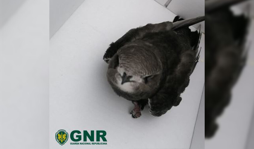 gnr-resgata-andorinhao-de-sobre-cinzento-juvenil-em-santo-tirso