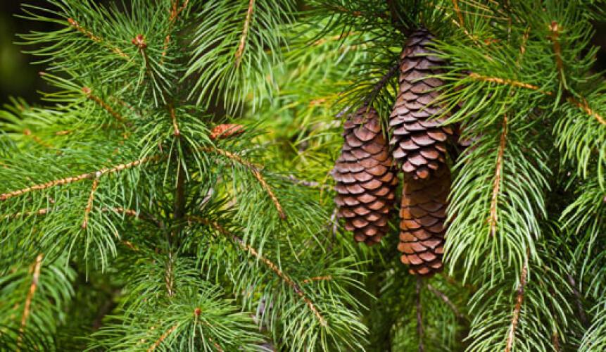 pinheiros-oferecidos-pela-camara-para-proteger-ambiente