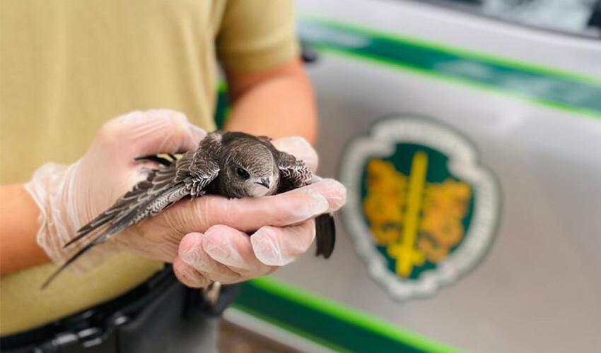 gnr-resgata-andorinhao-juvenil-em-santo-tirso
