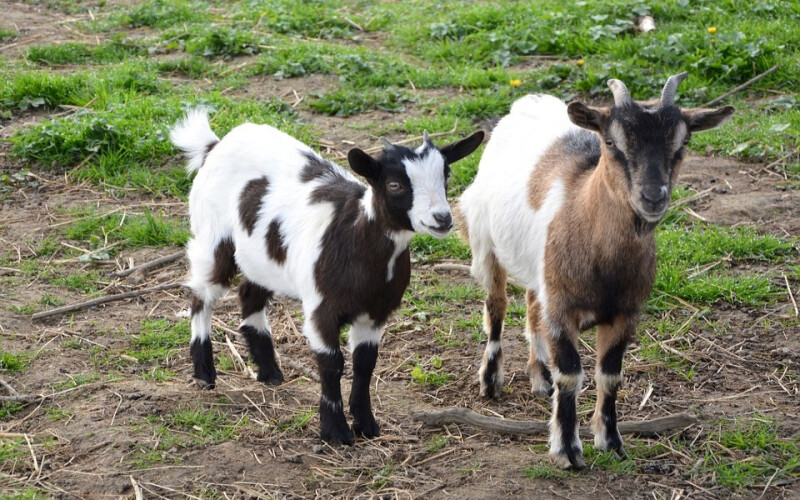 cabras-sapadoras-portuguesas-sao-destaque-em-jornal-americano
