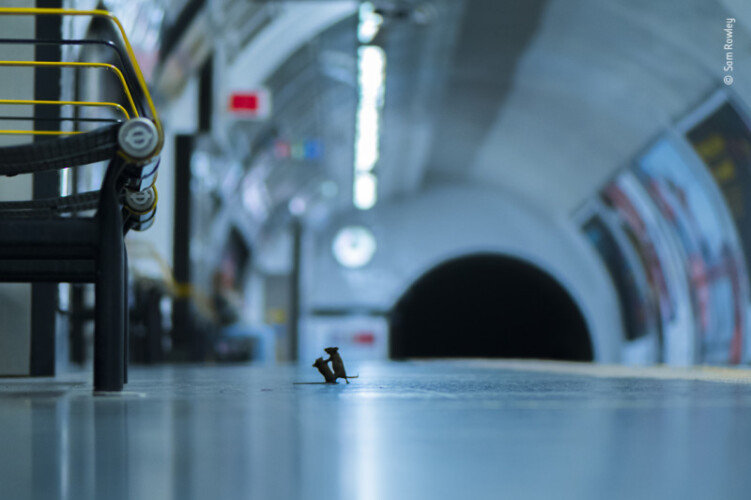 imagem-de-ratos-a-lutar-ganha-premio-de-fotografia