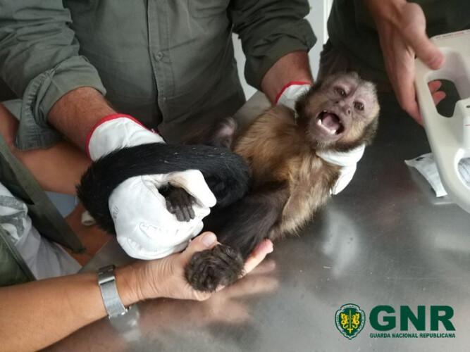 gnr-captura-macaco-em-penafiel