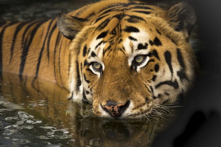 india-consegue-multiplicar-a-populacao-de-tigres