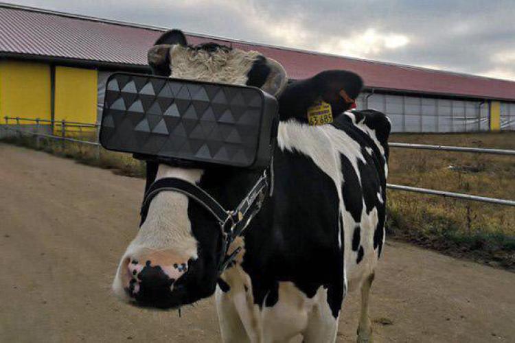 vacas-com-oculos-virtuais-para-acalmar-e-aumentar-producao-de-leite