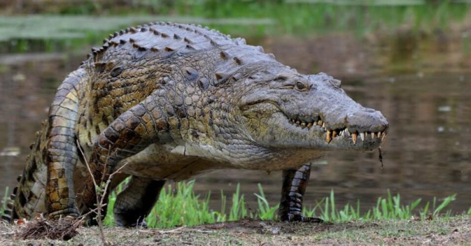 crocodilo-no-rio-douro-podera-afinal-ser-uma-lontra