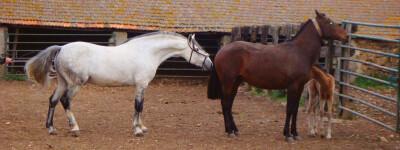 Maneio Reprodutivo de Equinos