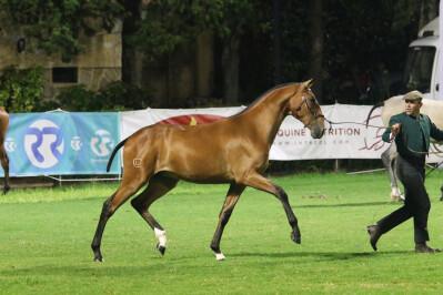 Alterações na apresentação de cavalos com guia