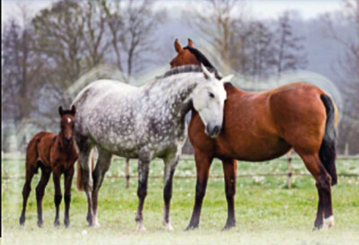 Melhoramento genético de equinos