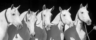 Tutorial de Morfologia do cavalo Pura Raça Espanhola