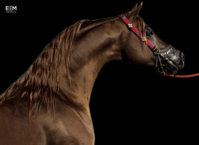 Longines Masters Hong Kong vai exibir Cavalos Árabes