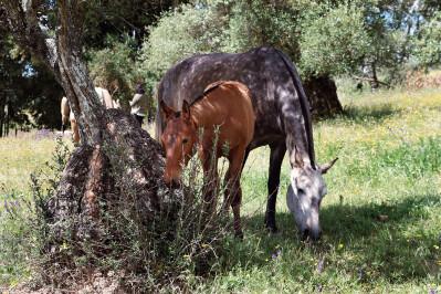 USLA assume gestão do Cavalo Lusitano nos EUA