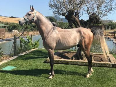 Cavalo Árabe nascido em Portugal 2.º em CEI*